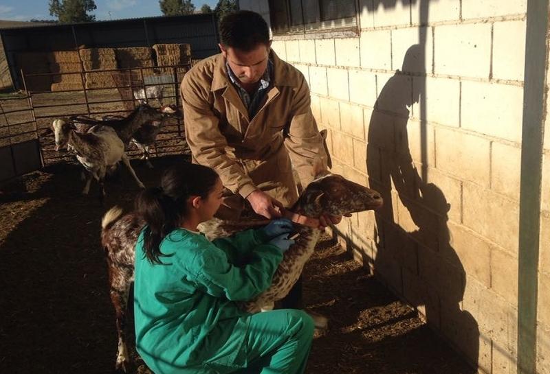Una ganadería de Montemolín se convierte en la primera explotación caprina de Extremadura calificada frente a la tuberculosis