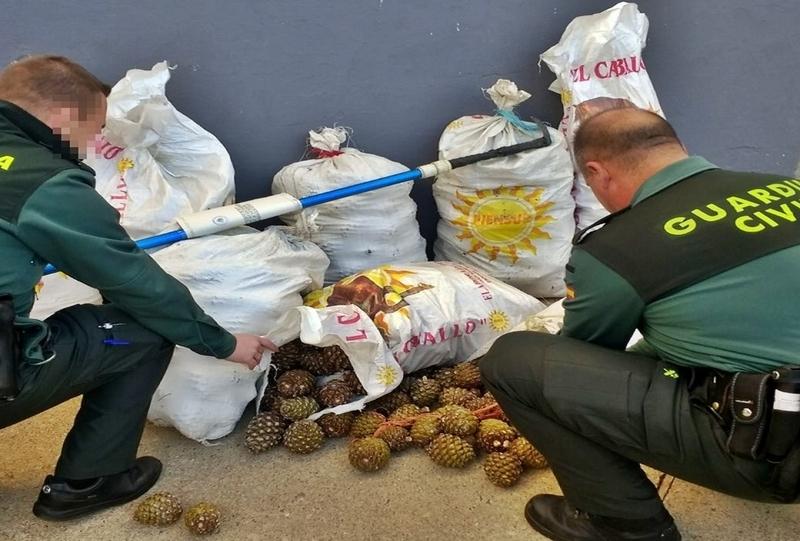 La Guardia Civil sorprende a dos personas en Fregenal cuando sustraían 320kg de piñas en una explotación agrícola
