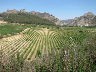 Abierta la convocatoria de ayudas a la reestructuración y reconversión del viñedo en Extremadura