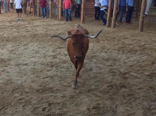 Conocidos los ganaderos que cederán las vacas para las Capeas 2018 en Segura de León