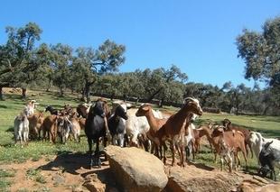 Los ganaderos extremeños han perdido 131 millones de euros desde junio por causa de la sequía
