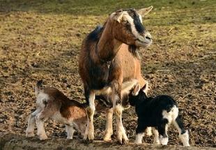 ACRIFLOR organiza en Monesterio una Jornada Técnica sobre el ganado caprino