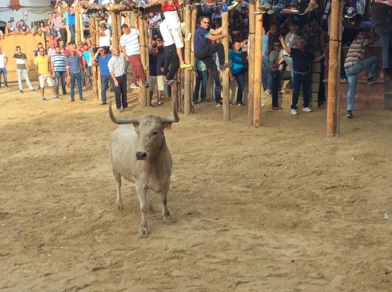 Conocidos los ganaderos que cederán las vacas para las Capeas 2019 en Segura de León